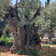 Mount of Olives - New Earth - Spiritual Journeys in Israel - Hira Hosèn
