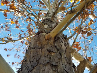 Winter Trees For Your Central Texas Landscape