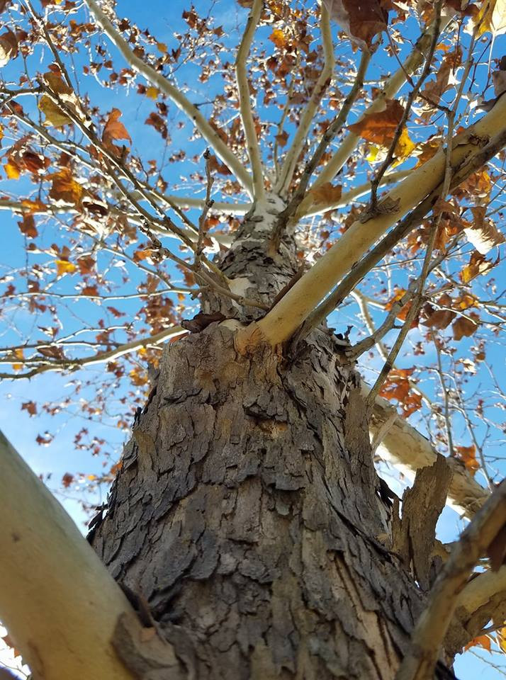 See the beautiful white bark on this sycamore.