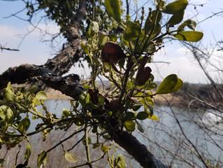 Mistletoe, The Kiss of Death