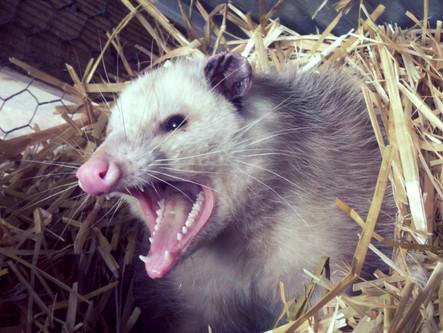 Opossums - Friend Or Foe? Is The Tick Eliminating Propaganda A Lie?