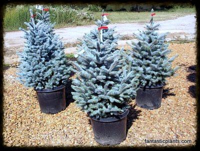 "5 Gallon ""Baby Blue"" Spruce - $25"
