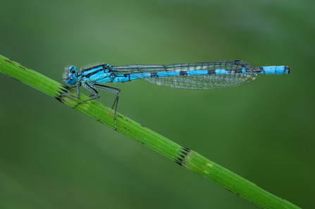 'Common Blue Damsel' by Ted McKee - Accepted