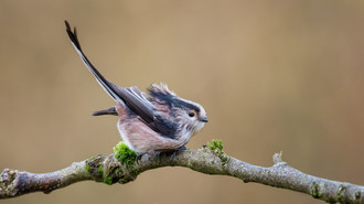 'Ruffled Long-tailed Tit' by Ted McKee - Commended