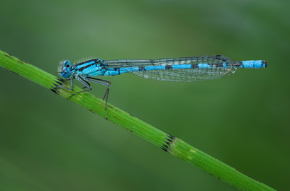 'Common Blue Damsel' by Ted McKee - Highly Commended