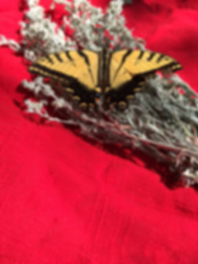 butterfly on sage.jpg