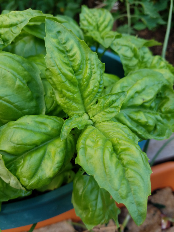 Lettuce Leaf Basil Pesto: The fastest, most authentic recipe