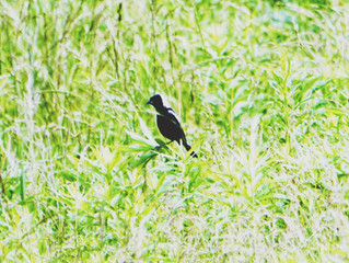 Bobolinks, New Wine Releases and Canada Day