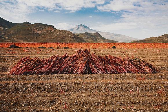 La récolte du quinoa