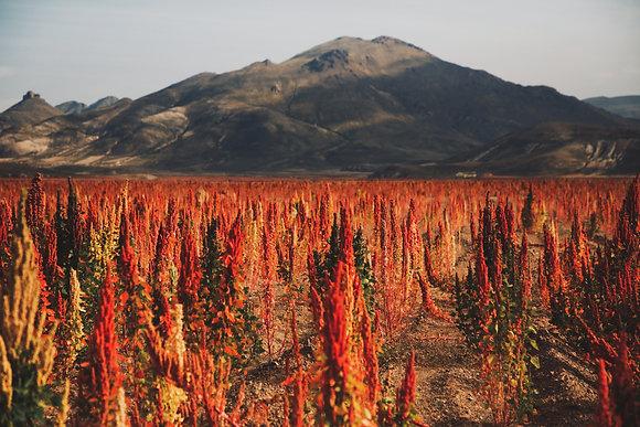 Rouge quinoa