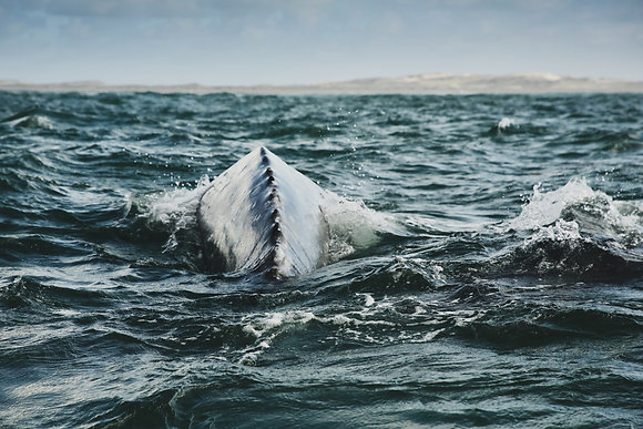 Baleine grise d'Alaska
