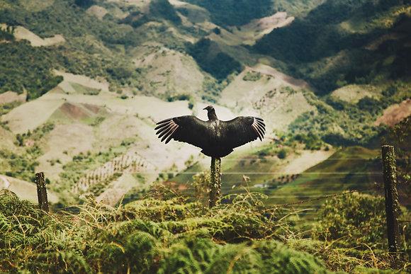 Vautour des Andes