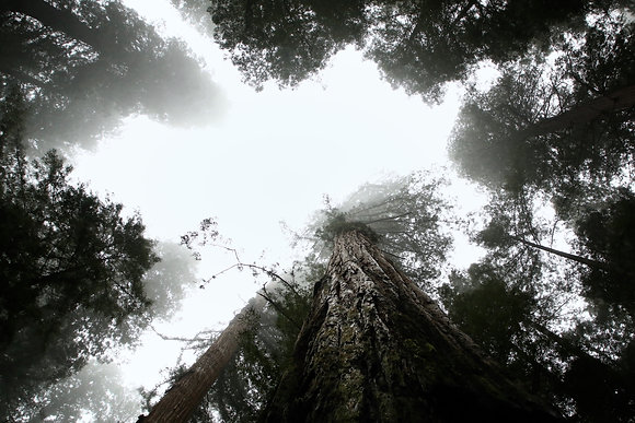 Sequoia géant d'Oregon