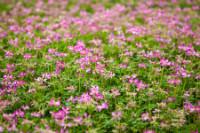 Astragalus (Astragalus spp.)