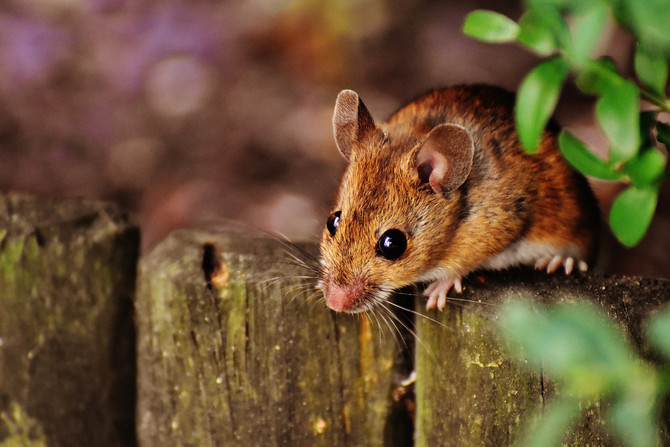 Corazón de ratón