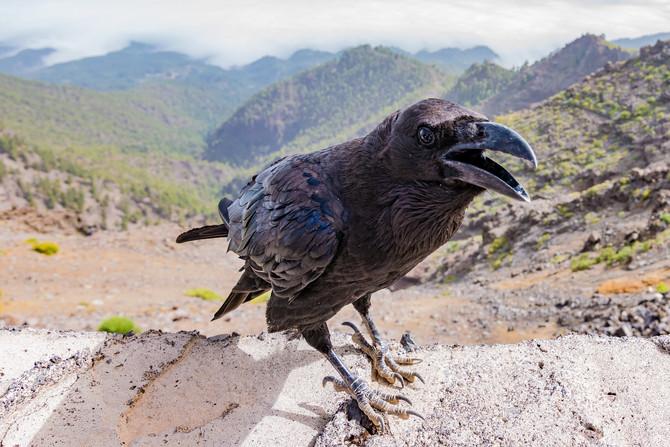 El cuervo del descontento