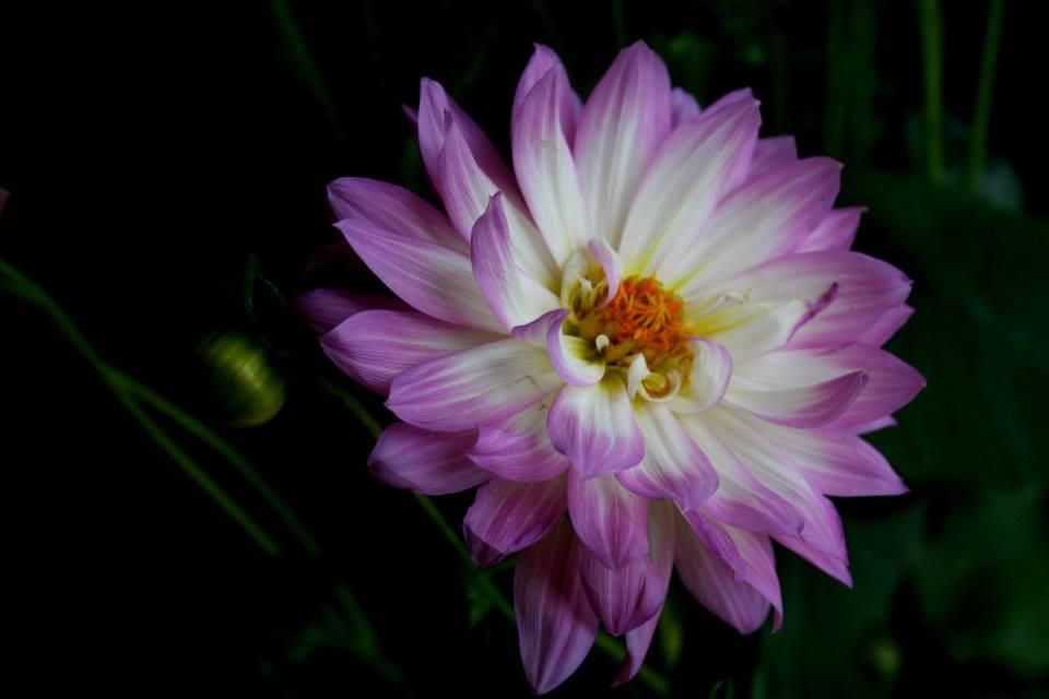 flor lila blanca.jpg