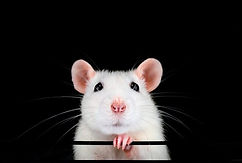 Cute-white-pet-rat-portrait-with-black-b