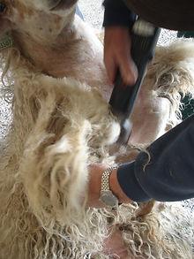 scheren van wol voor Landscapes in Wool