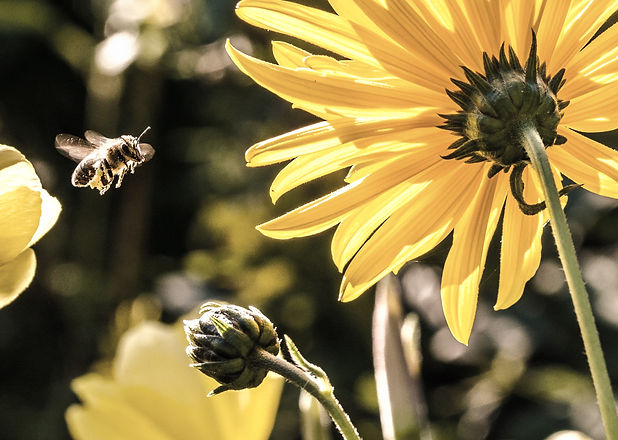 yellow-petaled-flower-with-black-yellow-bee-during-daytime-63641_edited.jpg