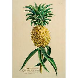 Botanical print 1 pineapple.jpg