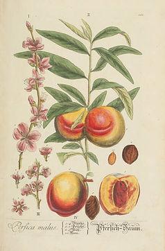 perfica-malus-the-peach-tree-plate-101.j