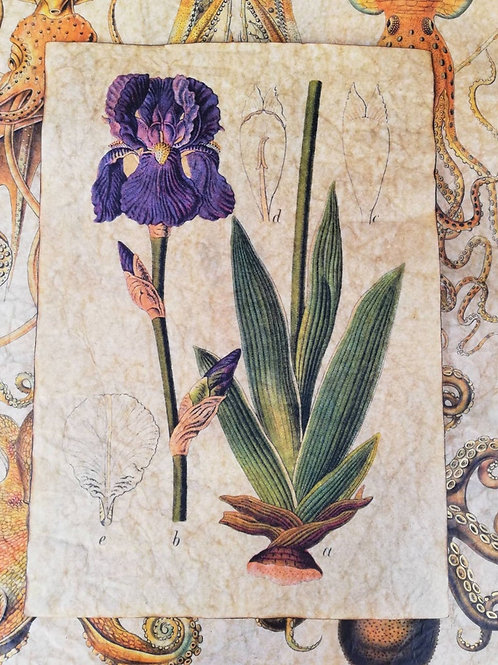 Iris germanica, from Köhler's Medizinal-Pflanzen