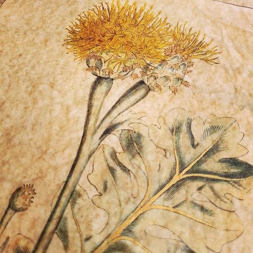 Centaurea ragusina, Curtis's Botanical Magazine, 1800
