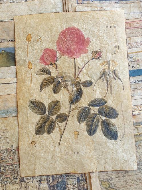 Rosa centifolia, from Köhler's Medizinal-Pflanzen