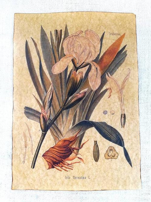 Iris florentina, from Köhler's Medizinal-Pflanzen
