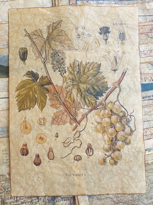 Vitis vinifera, from Köhler's Medizinal-Pflanzen