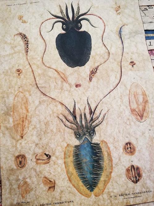 Cuttlefish, Jules Dumont d'Urville, 1833