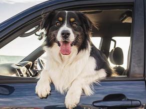 ¡5 consejos para que tu perro viaje cómodo y seguro en un carro!