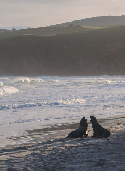 Sea Lions playing at Sandfly beach