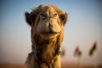 Camel. Dubaï. 2017