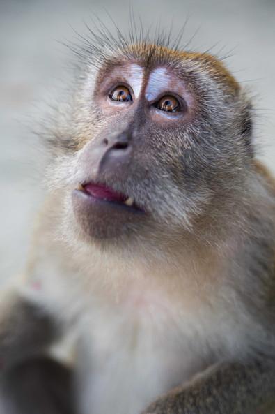 Monkey in Kuantan, Malaysia. 2016