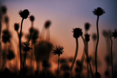 silhouette-tiny-flower-and-sunset-sky-PL