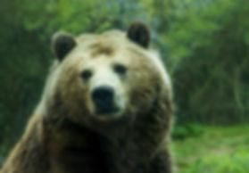 Bear Paca tola Molina