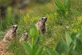 marmottes-dans-les-monts-du-cantal_38657