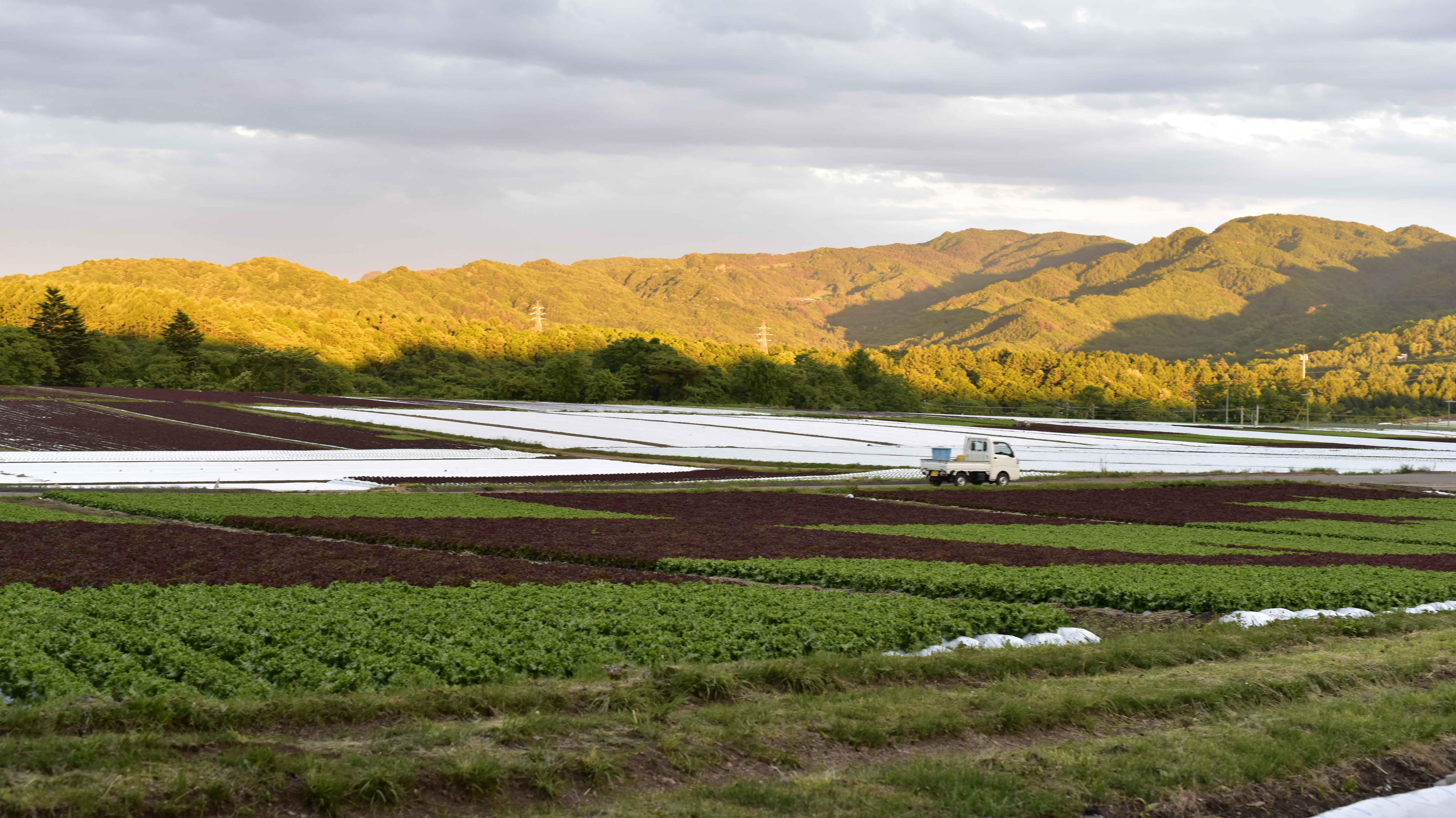 レタス畑2