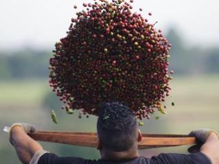 Café - redução na produção para 2017