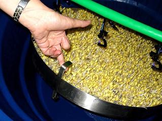 Equipamento de materiais simples facilita produção de brotos