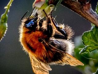 Espiar as abelhas revela que os pesticidas prejudicam o comportamento social