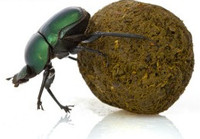 Dung Beetle Scoring System (AKA Poquiz Rating Method)