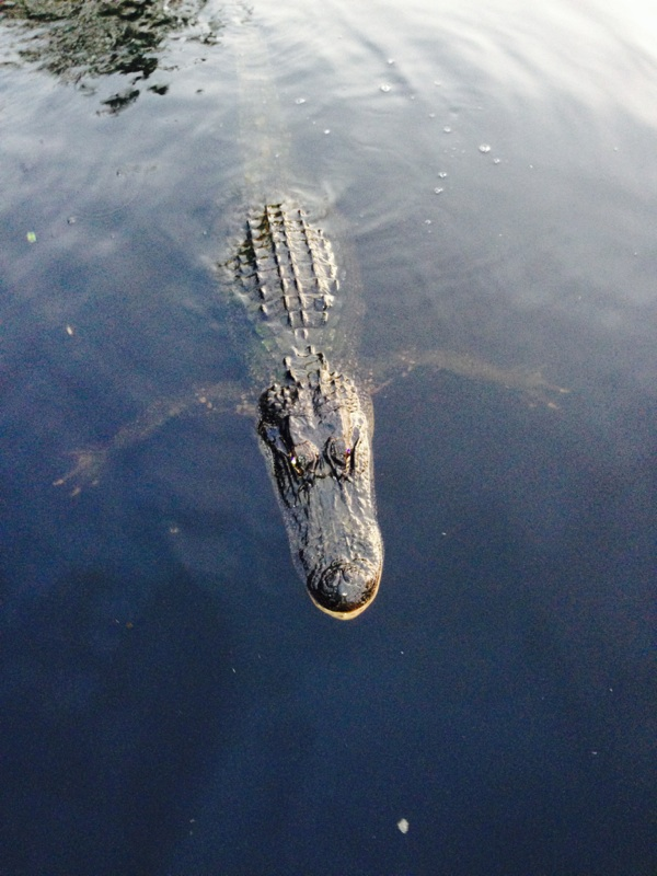 Swimming Alligator.jpg