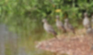 31.Senegal Thick-knee.jpg