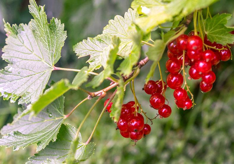 «Rips berries» – Photoimage