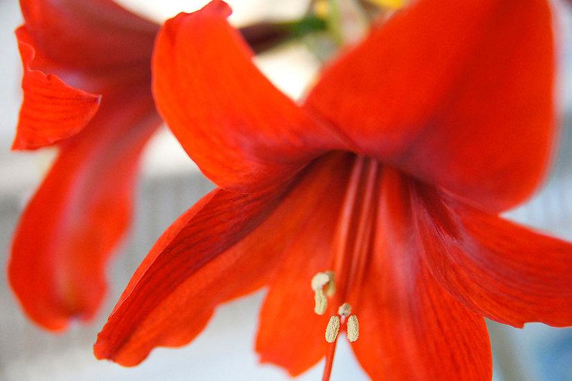 «Close up of Red Lillje» – Photoimage