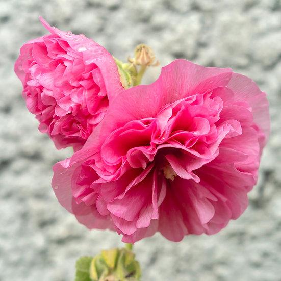 «Rosa Flower» – Photoimage