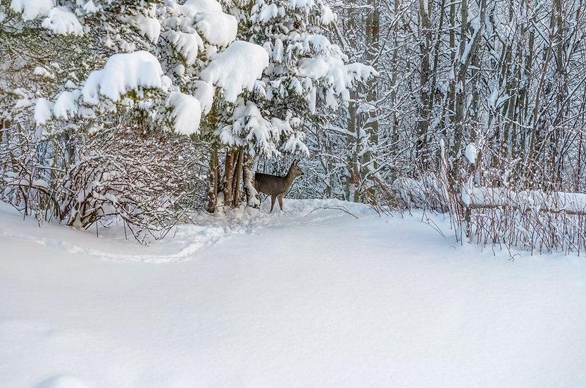 «Deer in garden-2» – Photoimage